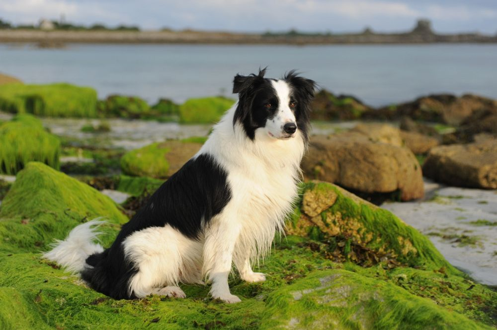 Border Collie Fellpflege