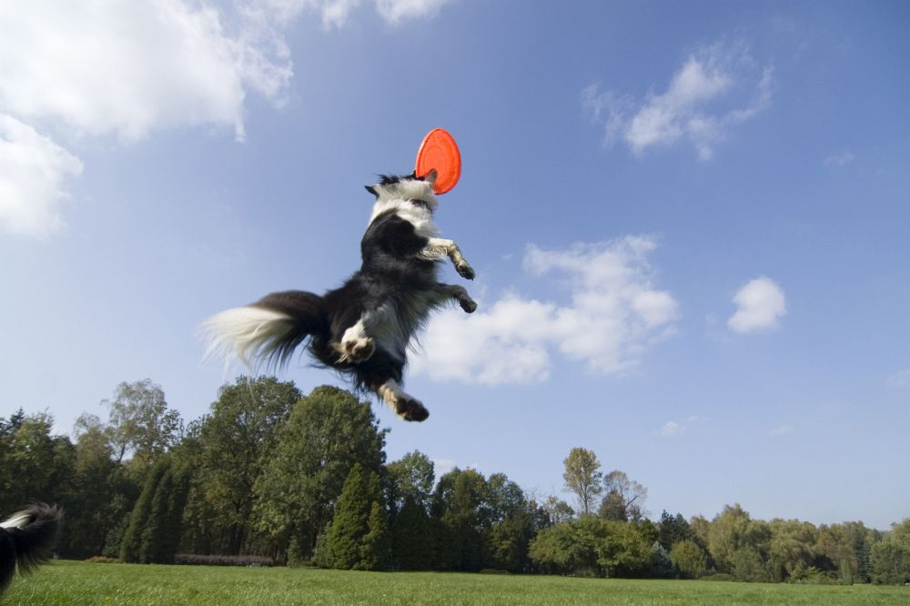 Border Collie Frisbee