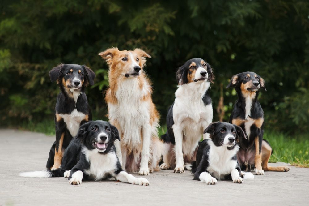 Border Collie Gesundheit: Tipps/Checkliste für ein gesundes Border Collie-Hundeleben!