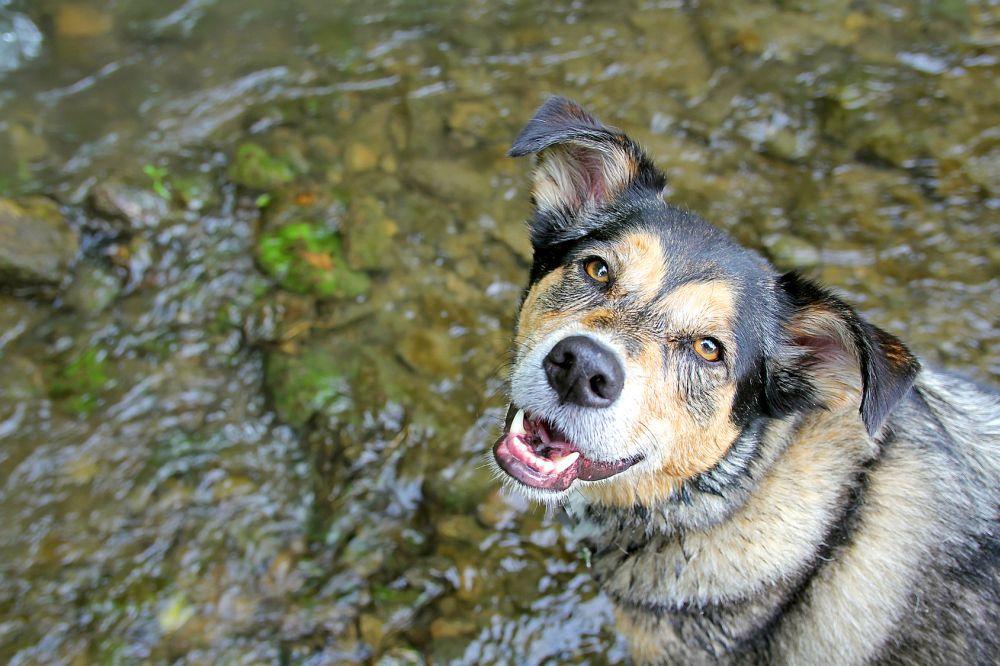 Border Collie Schäferhund Mischling im Wasse