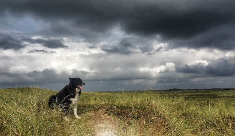 Border Collie Hund Zucht