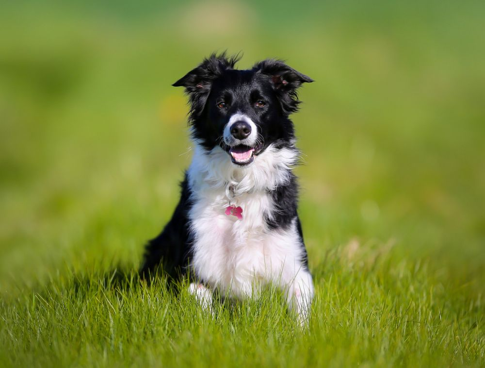 Lebenserwartung Border Collie