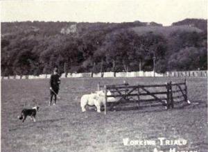 Sheepdog Trail mit Border Collie 1915