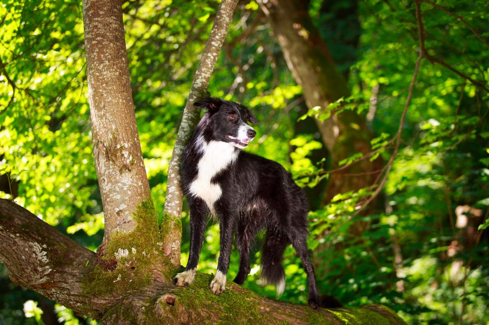 Zecken Border Collie