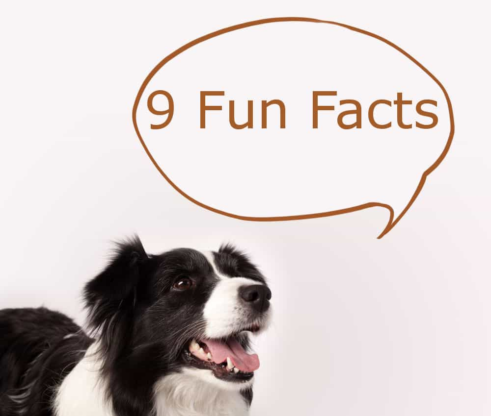 Border Collie Fun Facts