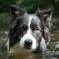 Border Collie Etalon zur Paarung