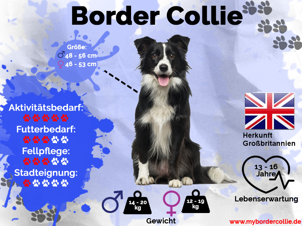 Border Collie Infografik