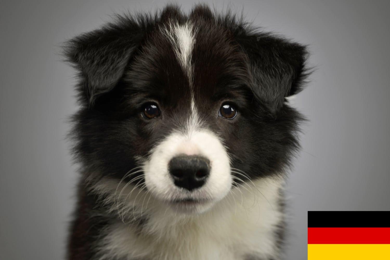 Border Collie Welpen und Züchter in Deutschland