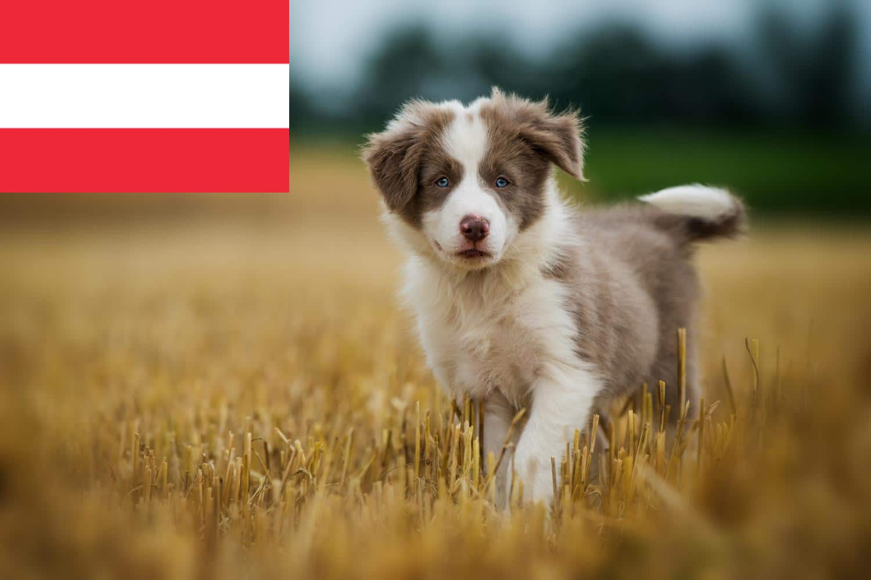 Border Collie Welpen in Österreich